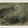 The South African Porcupine.