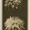 Chrysanthemum.