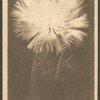 Centaurea.