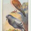 Turtle Dove and Rock Dove.