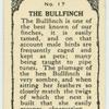 Bullfinch.