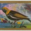 Regent Bower bird.