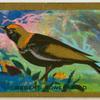 Regent Bower-bird.