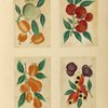 Four drawings of fruit.]