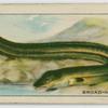Broad-nosed Eel.