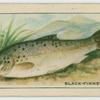 Black-finned Trout.