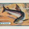 The gwyniad.