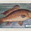 The carp.