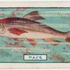 The dace.