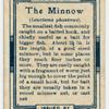 The minnow (Leuciscus phoxinus).