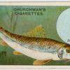 The gudgeon (Gobio fluviatilis).