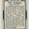 The gudgeon (Gobio fluviatilis).