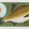 The common bream (Abramis brama).