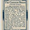 The common bream (Abramis brama).