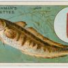 The burbot (Lota vulgaris).