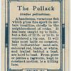 The pollack (Godus pollachius).
