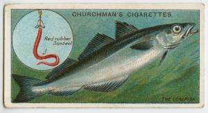 The coalfish (Gadus virens).