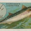 The mackerel (Scomber scomber).