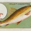 The barbel (Barbus valgaris).