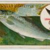 The sea trout (Salmo trutta).