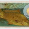 The carp (Cyprinus carpio).