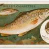 The brown trout (Salmo fario).