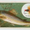 The grayling (Salmo thymallus).