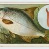 The silver bream (Abramis blicca).