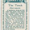 The tench (Tinca vulgaris).