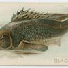 Blackfish.