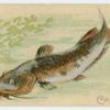 Catfish.