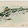 Mackerel.