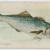 Bluefish.
