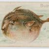 Blowfish.