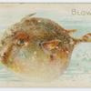 Blowfish.
