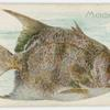 Moonfish.