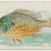 Sunfish.