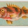 Banded sea perch.