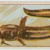 Estuary catfish.