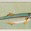 This fish is known in New South Wales as long-finned pike, ...