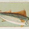 Horse mackerel.
