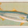 Kingfish.