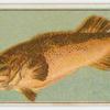 Murray cod.