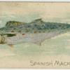 Spanish mackerel.