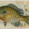 Blue gill sun fish.