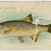 Golden shiner or breem.