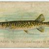 Pickerel from Massachusetts pond.