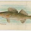 Pike perch.