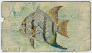 Spade fish.