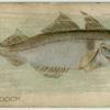 Haddock.